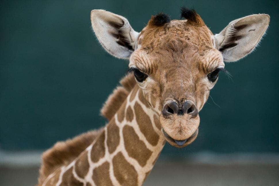 Baby Giraffe Born At Busch Gardens